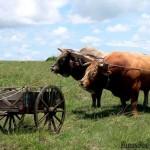 French expression: il ne faut pas mettre la charrue avant les boeufs